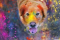 Картинка muzzle, Labrador Retriever, looking at viewer, funny, color, eyes, tongue, looking up, nose, dust, animal, ...