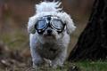 Картинка собака, очки, болонка