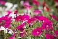 Картинка природа, краски, лепестки, сад, клумба, петуния
