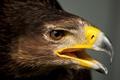 Картинка голова, перья, хищник, птица, клюв, орел
