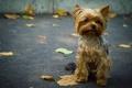 Картинка собака, песик, йоркшир, терьер, асфальт, листья