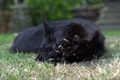 Картинка кошка, лежит, лапка, кот