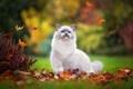 Картинка осень, милашка, кустик, листопад, рэгдолл, лапка, пушистый, листва, котенок, голубоглазый, парк, игра, кошка, поза