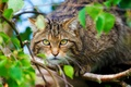 Картинка Scottish Wild Cat, животное, морда, дикая кошка