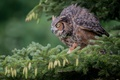 Картинка Виргинский филин, ветка, ель, шишки, птица, сова, филин