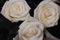 Картинка розы, обои, широкоформатные, белые розы, широкоэкранные