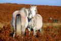 Картинка field, couple, horses, love