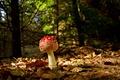 Картинка грибочек, макро, листва, мухомор, осень, лес