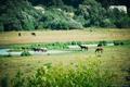 Картинка Лошади, речка, вода, поле, лето, трава