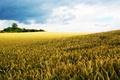 Картинка поле, небо, природа, мир, рожь
