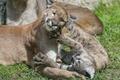Картинка кошка, игра, пума, котёнок, ©Tambako The Jaguar, горный лев, кугуар, детёныш, трава