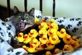 Картинка кошка, желтый, испуг, зеленые глаза, уточки, кот
