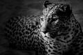 Картинка леопард, черно-белые обои, морда