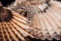 Картинка оперение, перья, крылья, птица, сова