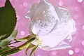 Картинка бутон, лепестки, вода, капли, роса, цветок, роза