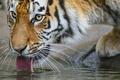 Картинка кошка, взгляд, ©Tambako The Jaguar, морда, тигр, амурский, пьёт, язык