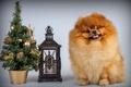 Картинка шпиц, елка, щенок, фонарь