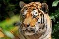 Картинка усы, взгляд, тигр, амурский, amur tiger, морда