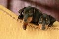 Картинка dachshund, Такса, двое, интерес, щенки