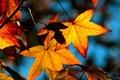 Картинка Листья, клен, осень, желтый