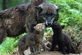 Картинка Волки, малыши, волчата, любовь, нежность, забота