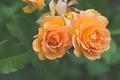 Картинка макро, дуэт, розы