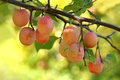 Картинка ягоды, ветка, сливы, сад