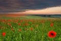 Картинка цветы, тучи, поле, луг, маки, небо, трава