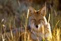 Картинка взгляд, койот, Колорадо, трава, Gunnison National Park, США