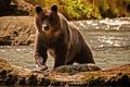 Картинка медведь, вода, река, природа