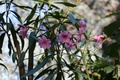 Картинка spring, nature, oleander