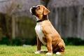 Картинка собака, щенок, глаз, сидит, трава, смотрит