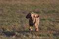Картинка поле, трава, настроение, собака, бег