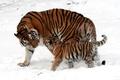Картинка окрас, снег, малыш, котёнок, зима, прогулка, мех, тигрица, мама, полоски, детеныш, кошки, тигры, шерсть, дикие