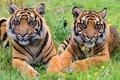 Картинка трава, тигр, отдых, хищник, пара, тигрята