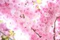Картинка нежность, цветы, свет, ветви, сакура, дерево, цветение, солнце, розовые, весна