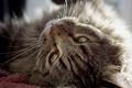 Картинка кот, взгляд, животное, шерсть, уши, зеленые глаза, моррда