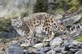 Картинка кошка, взгляд, ирбис, снежный барс, ©Tambako The Jaguar, камни