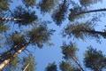 Картинка небо, деревья, сосны