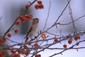 Картинка ягоды, свиристел, ветки, птичка, птица