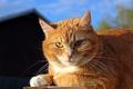 Картинка кошка, солнечно, рыжий, солнце, морда, кот