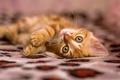 Картинка пушыстик, малец, миленько, котенок, рыжий, кот
