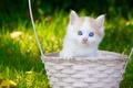 Картинка голубые глаза, взгляд, корзина, малыш, котёнок