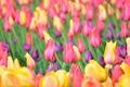 Картинка тюльпаны, бутоны, боке