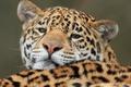 Картинка ягуар, хищник, морда, дикая кошка