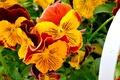 Картинка цветы, анютины глазки, оранжевые