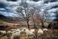 Картинка Fabry, пастбище, стадо, овцы, деревья, осень