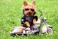 Картинка собака, куртка, очки, йоркширский терьер, мотоцикл, трава