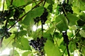 Картинка веточки, виноградик, фиолетовый