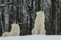 Картинка зима, лес, снег, волки, белые, два, полярные